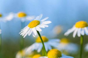 daisys with blue sky