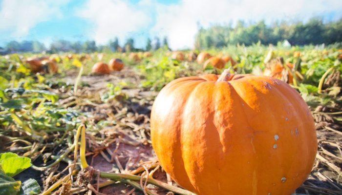 Explore a Pumpkin Patch this Fall!