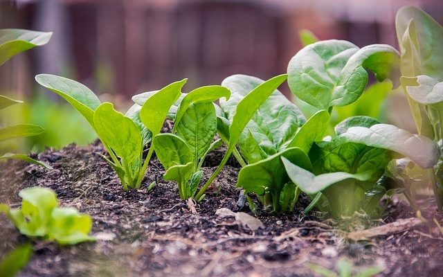 Growing Your Own Salad Greens