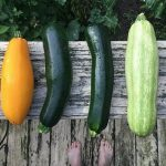 summer yellow and zucchini squash
